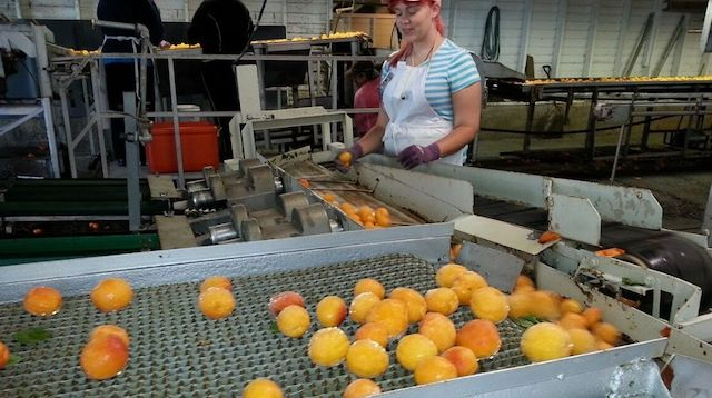 Operations Management Peach Canning Factory
