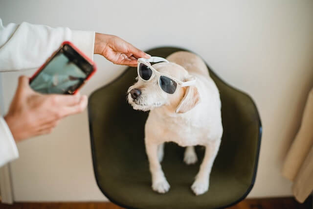 Someone taking photo of dog with sunglasses