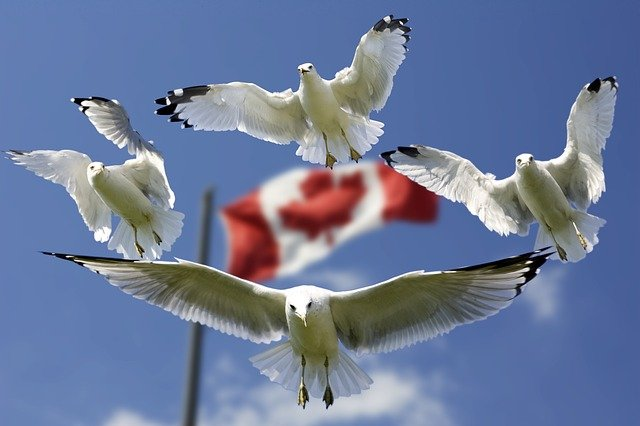 Gulls circling a Canada flag